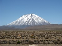 Vicuña reserve on altiplano, with volcano