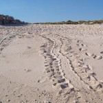 Turtle tracks, Bigge Island
